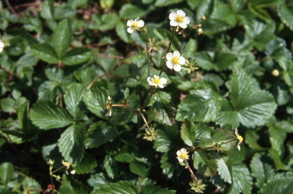 Strawberries - ground cover