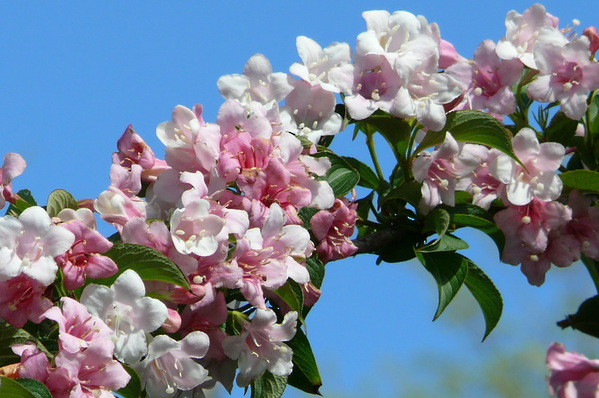 Weigela - Mock Apple Blossom Tree - Cardinal Shrub