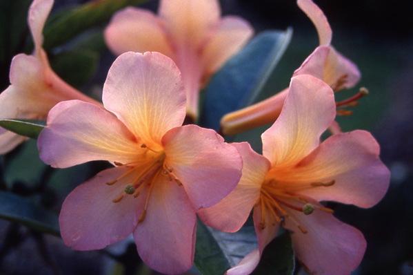 Vireya Rhododendron - hybrid