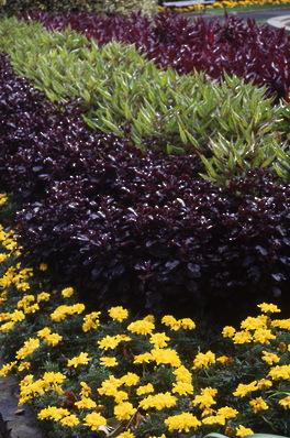 Autumn Border - Marigold \'Queen Sophie\', Purple Basil and Amaranthus