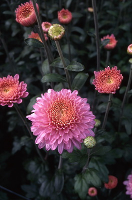 chrysanthemum - \'dark pink margaret\'