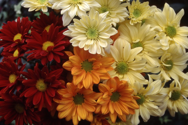 chrysanthemum - mixed
