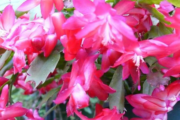 Zygocactus schlumbergera - Christmas Cactus