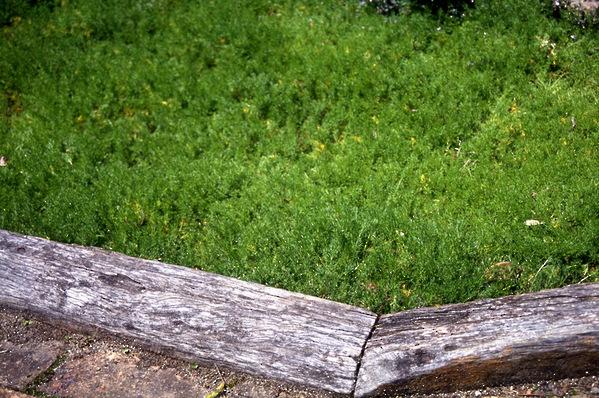 "Anthemis Nobilis - \'Roman Lawn Chamomile"""