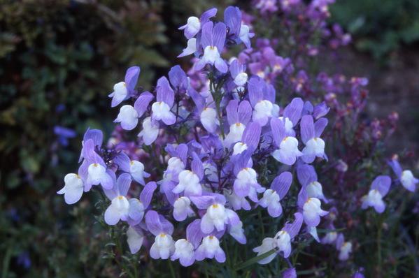 Linaria vulgaris - \'Lavender Lace\' - Toad Flax