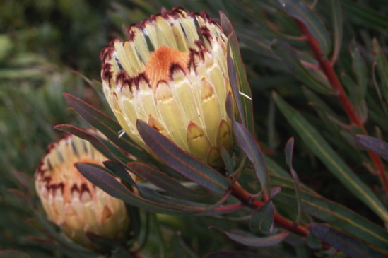 Protea nerifolia Lime Light