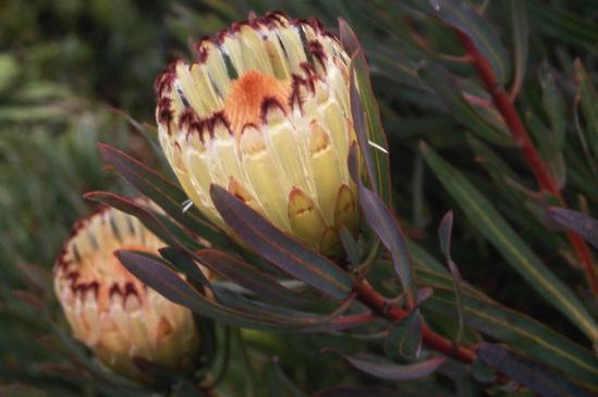 Protea nerifolia Lime Light