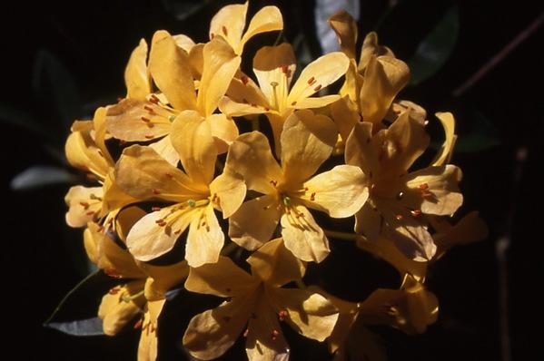 Vireya Rhododendron - \'Flamenco Dancer\'