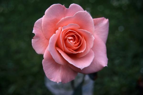 Rose \'Iced Ginger\'