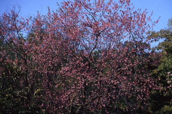 Prunus Cherry Taiwan