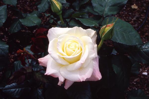 Rose \'Summer Fashion\'