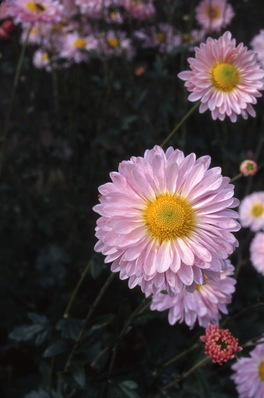 chrysanthemum - \'candy pink\' fragrant