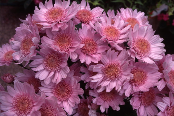 chrysanthemum - anemone centre