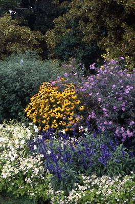 golden rudbeckia, pink aster, blue salvia, matricaria