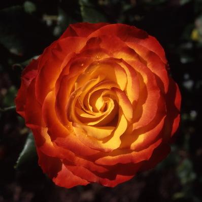 Rose \'Tequila Sunrise\'