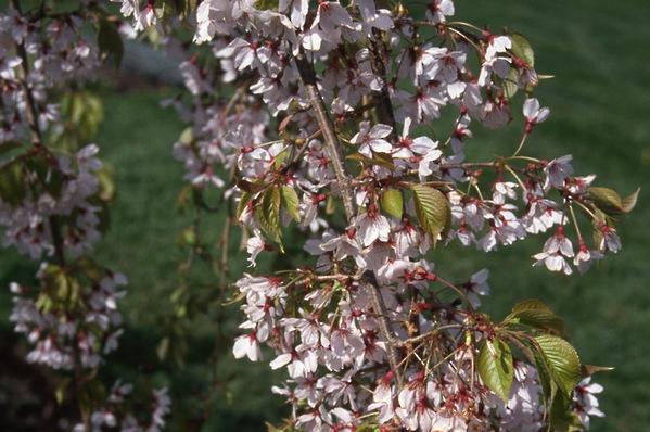 Prunus subhirtella Falling Snow Weeping Cherry