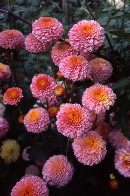 chrysanthemum - \'muriel\' button