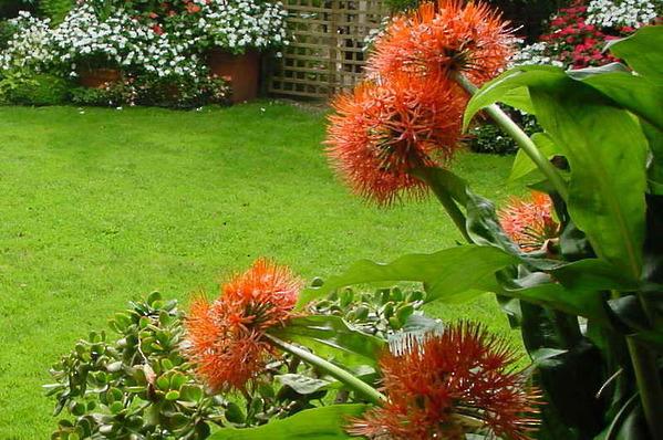 Scadoxus - Fireball Lily