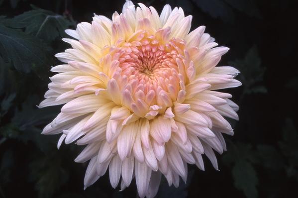chrysanthemum - \'karen rowe\'