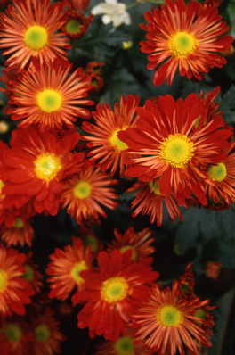 chrysanthemum - red daisy