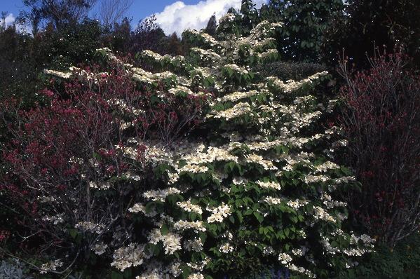Viburnum - \'Tomentosa\' with illam azalea