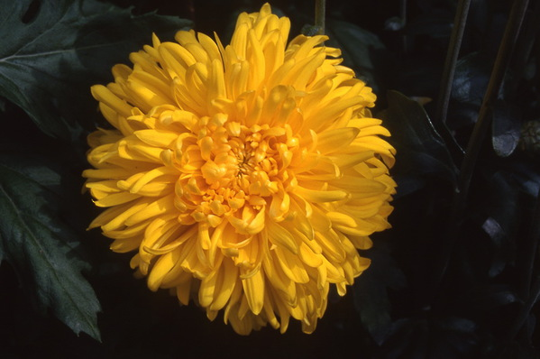chrysanthemum - \'yellow margaret\' grown as disbuded standard