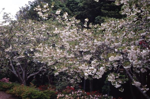 Prunus serrulata Cherry Shirotae