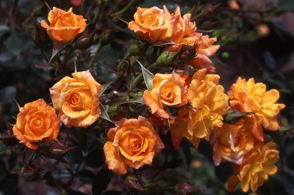 Rose \'Fiesta Gold\' minature