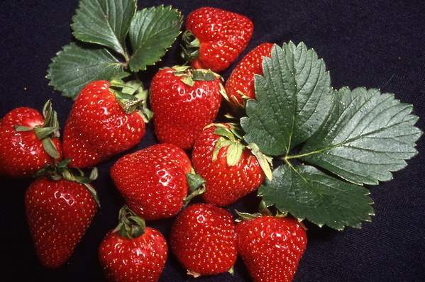 Strawberries - \'Red Gauntlet\'