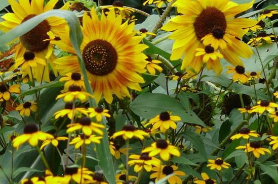 Rudbeckia tribola, American Three-Leafed Coneflower with Helianthus - Sunflower