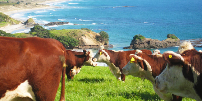 Vache Nouvelle Zélande
