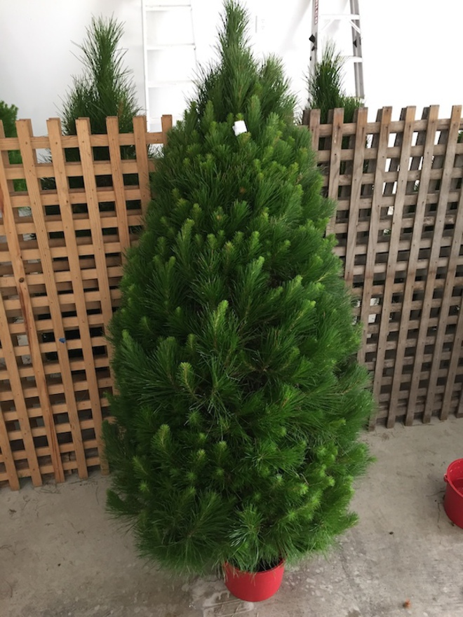 Fresh Xmas Trees - Open daily - SOLD OUT FOR 2020 - See you in 2021 image 3