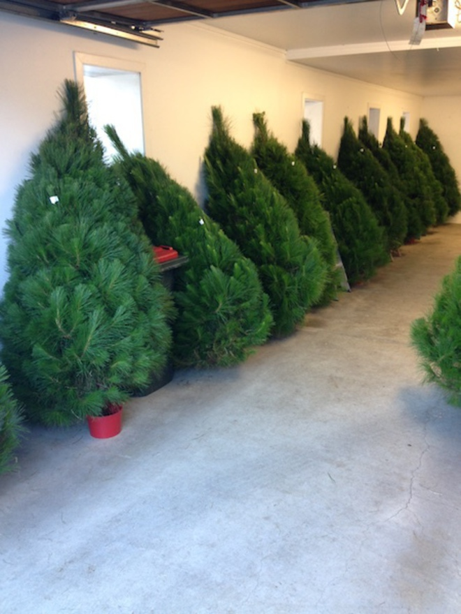 Fresh Xmas Trees - Open daily - SOLD OUT FOR 2020 - See you in 2021 image 7