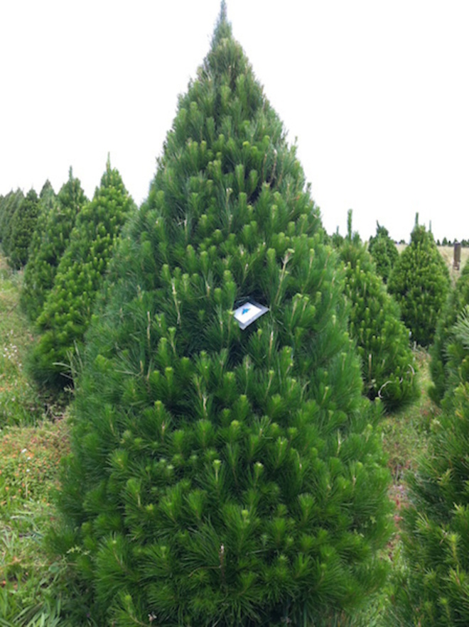 Fresh Xmas Trees - Open daily - SOLD OUT FOR 2020 - See you in 2021 image 5