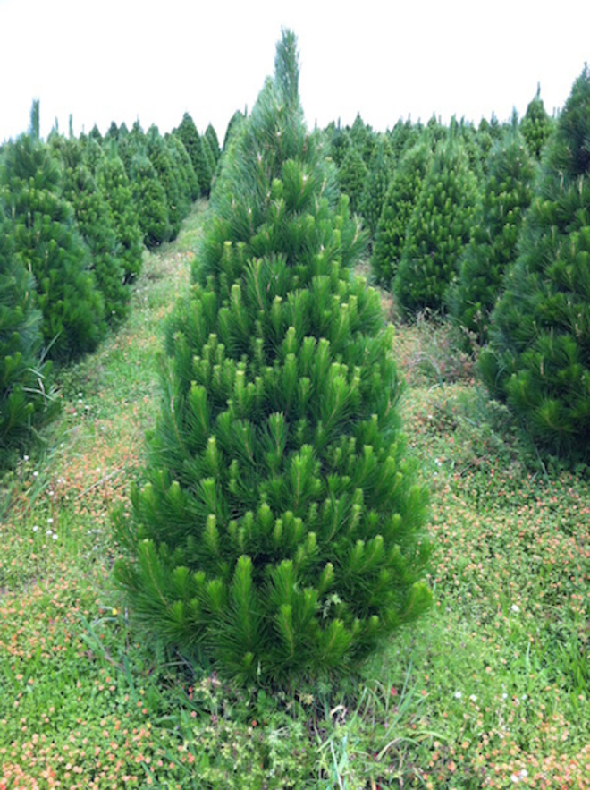 Fresh Xmas Trees - Open daily - SOLD OUT FOR 2020 - See you in 2021 image 6
