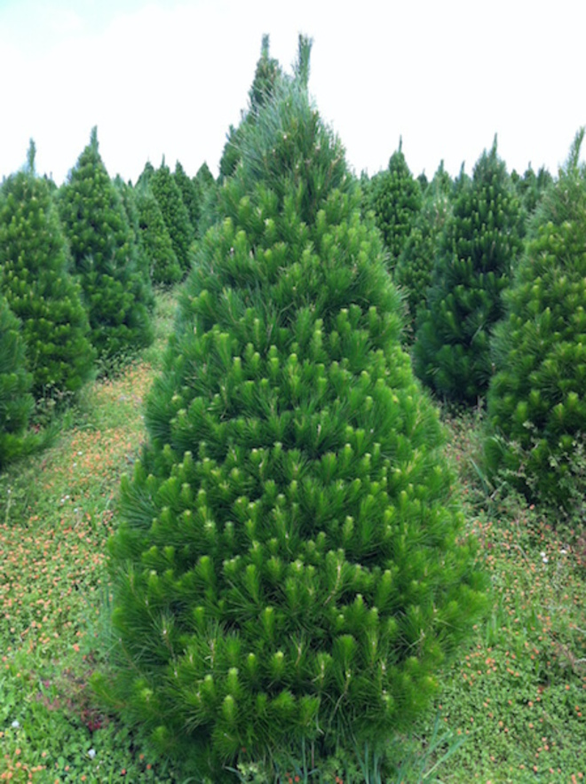 Fresh Xmas Trees - Open daily - SOLD OUT FOR 2020 - See you in 2021 image 0