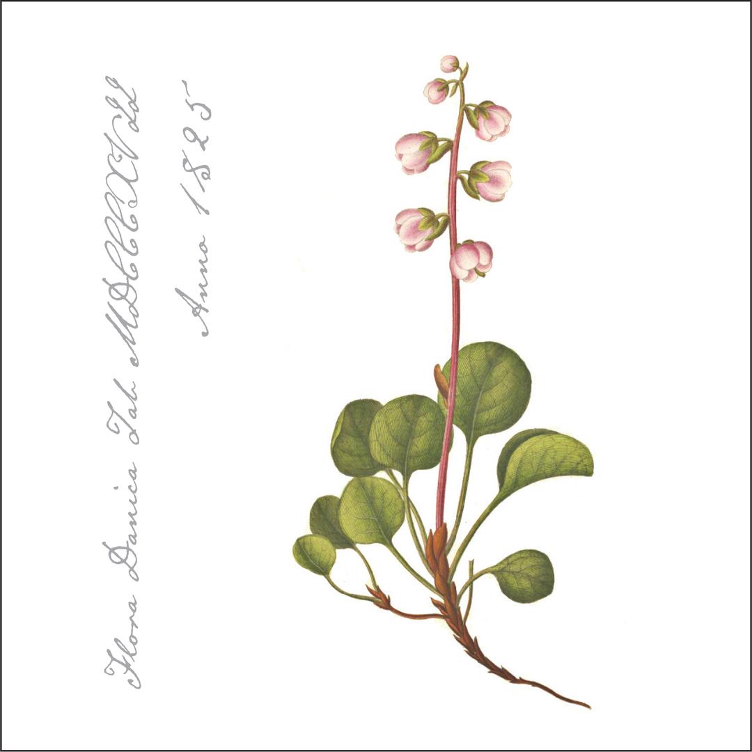 Flora Danica Paper Napkins, Wintergreen image 0