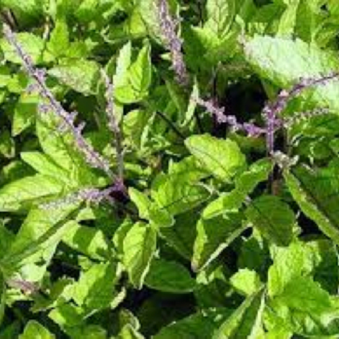 Holy basil essential oil image 0