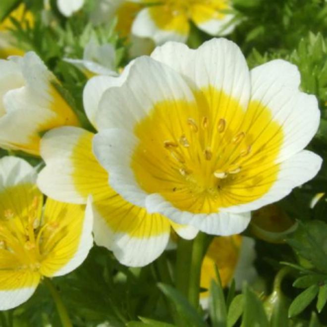 Meadowfoam seed oil image 0