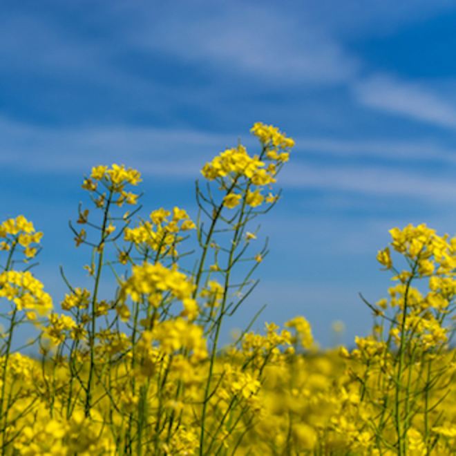 Rapeseed oil, NZ image 0