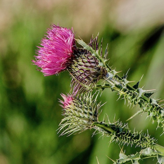 Milk thistle seed oil image 0