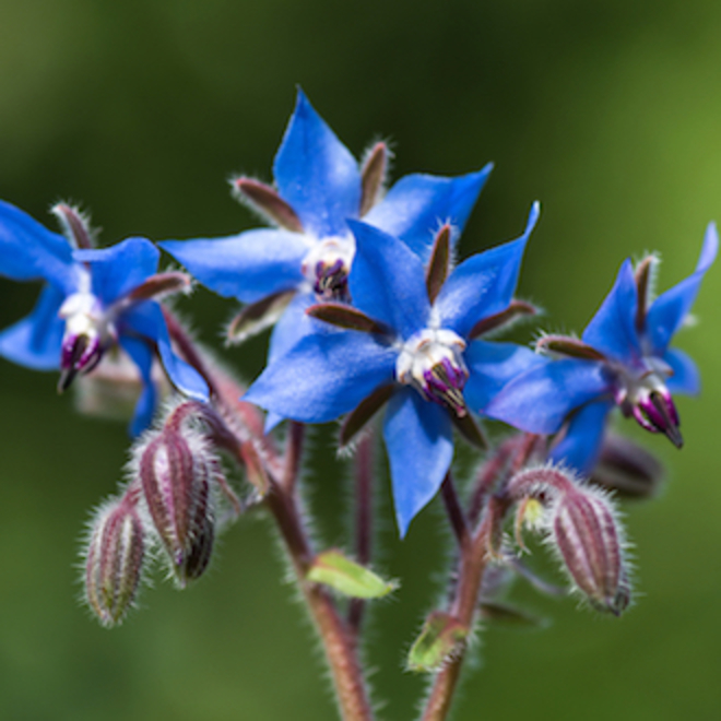 Borage seed oil, certified organic image 0