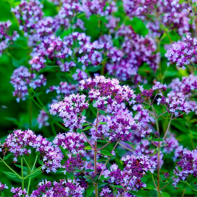 Marjoram essential oil image 0