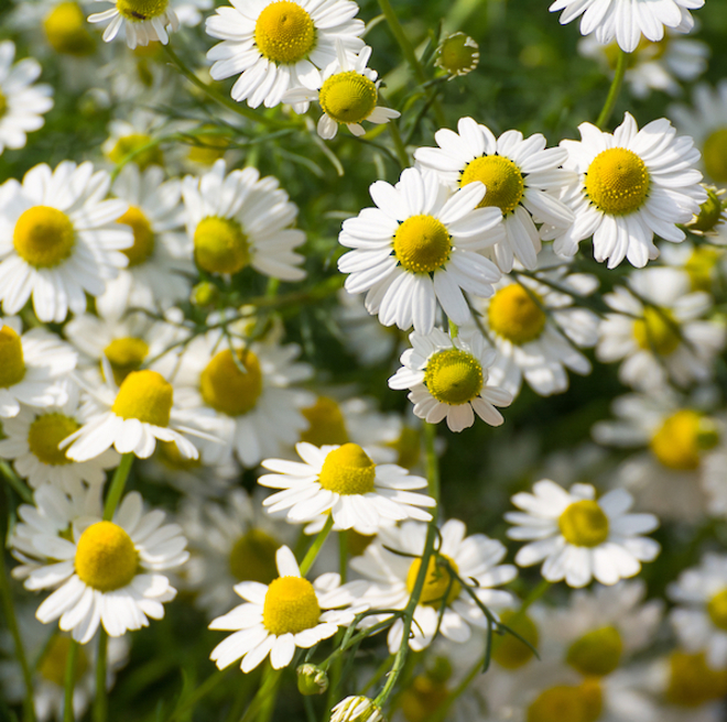 Chamomile essential oil German image 0