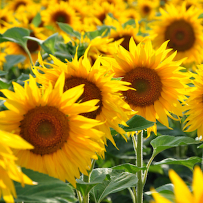 Sunflower oil, certified organic image 0