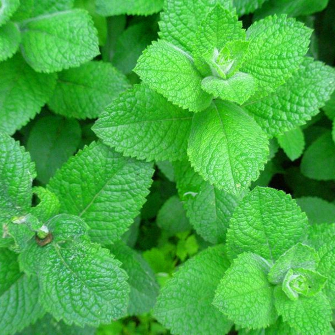 Peppermint essential oil image 0