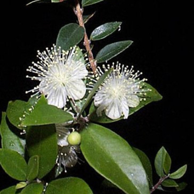 Myrtle essential oil image 0