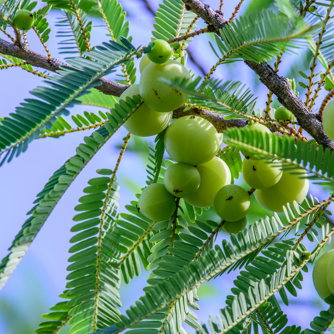 Amla oil, certified organic: OUT OF STOCK until November 5 image 0