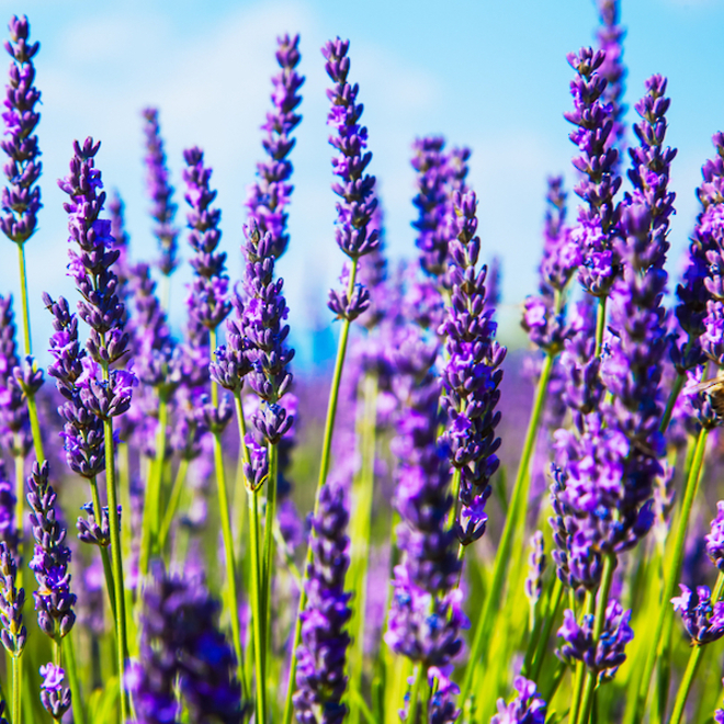 Lavender essential oil, certified organic image 0