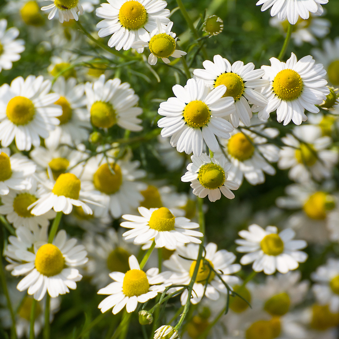 Chamomile essential oil Roman, certified organic image 0